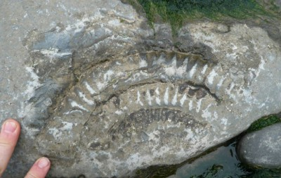 Ammonite Impression